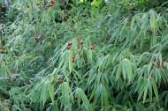 bambou-eglantier20160923_img_8507